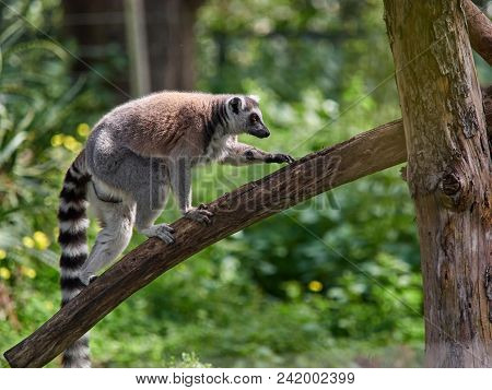 A Cat Or Ring-tailed Lemur With A Striped Tail Moves Along A Thick Branch Of A Tree.
