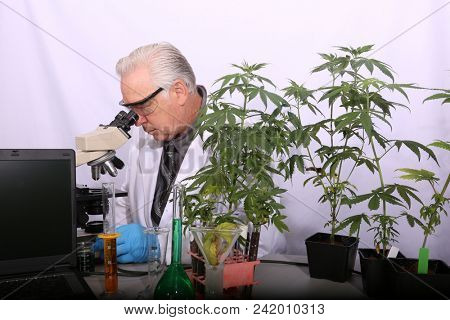Marijuana Research. A Scientist uses his Microscope to research the Benefits of Marijuana in Medical and Recreational industries.