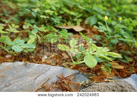 Soft Focus Of Green Leaves With Sunlight As A Background.(pinto Peanut, Forrajero Perenne, Amendoim