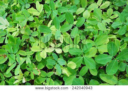 Soft Focus Of Green Leaves As A Background.(pinto Peanut, Forrajero Perenne, Amendoim Forrageiro, Ka