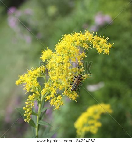 Beetles on Goldenrod