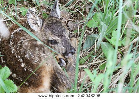 Little Deer In The Grass. Capreolus Capreolus. .wildlife Scene From Nature .