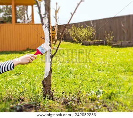 Whitewashing Of Fruit Trees In Spring. Care Of The Garden. Hand With A Brush Paints A Tree To Protec