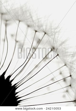 seeds of a dandelion close-up a small depth of field poster