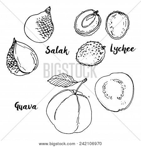 Salak, Lychee, Guava. Fruits Drawn By A Line On A White Background. Fruits From Thailand. Food Sketc