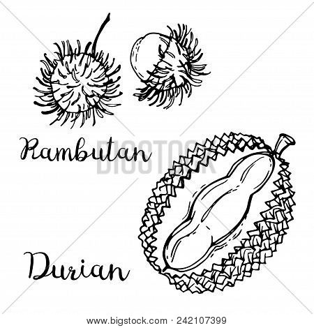 Rambutan, Durian. Fruits Drawn By A Line On A White Background. Fruits From Thailand. Food Sketch Li