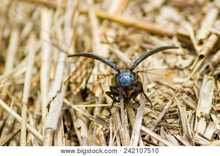 Dynastinae Female Rhinoceros Beetle Prepring To Launch Into Flight