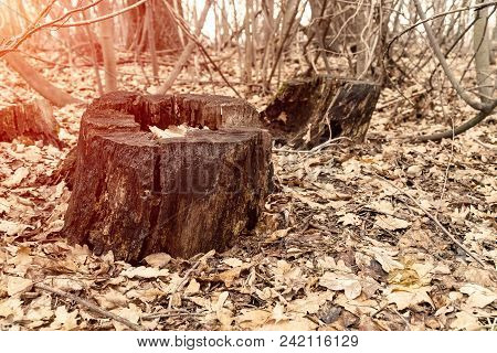 Old Dry Stump In A Deserted Autumn Forest. Around The Stump Dry Autumn Leaves