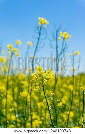 Detail Of Single Rapeseed Plant With Few Yellow Blooms In Front Of Other Plants