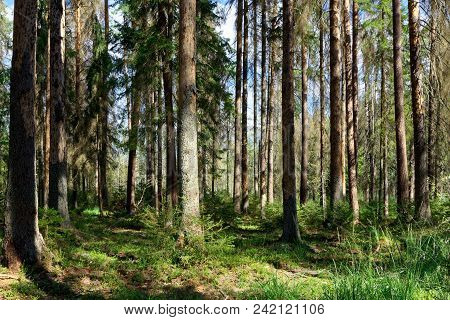 Old Coniferous Stand In Summertime Morning With Pine And Spruce Trees, Bialowieza Forest, Poland, Eu