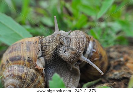 Couple Of Snails Mating. Snails In Their Love Dance