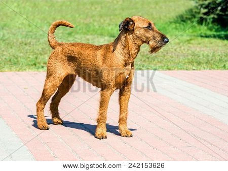 Irish Terrier Looks Ahead. The Irish Terrier Stands In City Park.