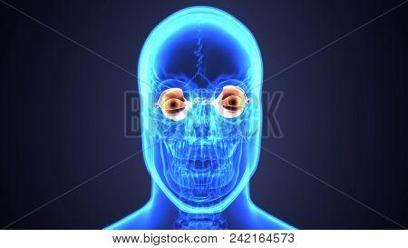 3d Illustration Of Human Eye Anatomy Diagram Eyeball Diagram