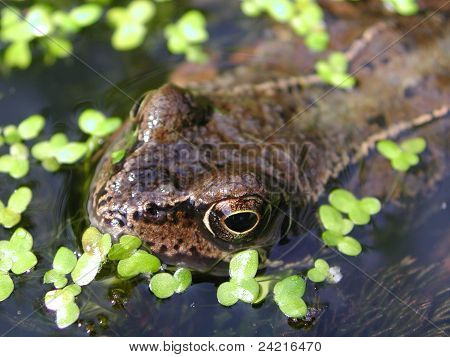 Frog Surfacing