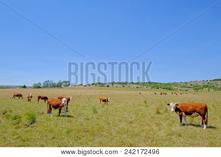 Nice Herd Of Free Range Cows Cattle On Pasture, Uruguay, South America