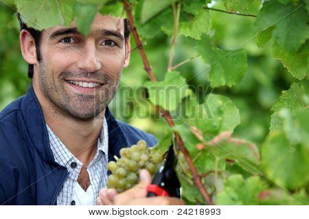 Man picking grapes poster