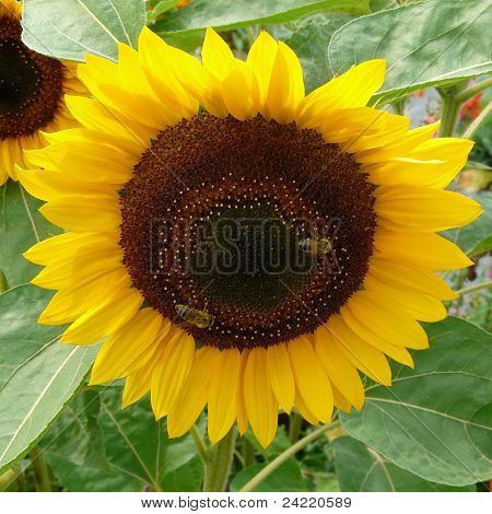 A blooming sunflower (Helianthus annuus) in sunlight on the fruit body are honey bees. poster