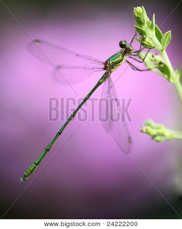 Small green dragonfly on flower-bud, macro-shot