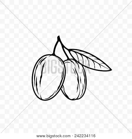 Argan Oil Nut And Leaf Vector Sketch Icon