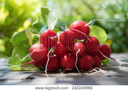 Bunch Of Fresh Round Radish On The Table In The Garden, Large Bunch Of Fresh Organic Vegetables, Rap