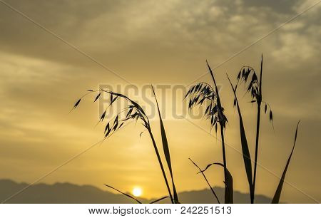 Branch Of Oat Against Of The Rising Sun Above Mountains, Focus On Plants