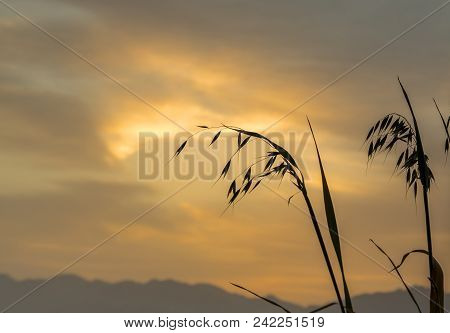 Silhouette Of Oats (avena Sativa) Against The Stormy Sky With Clouds Above Mountains