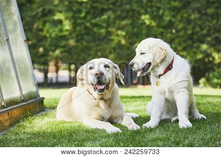 Two Playful Dogs On Garden. Happy Old Labrador Retriver And Puppy Of Golden Retriver Enjoy Together