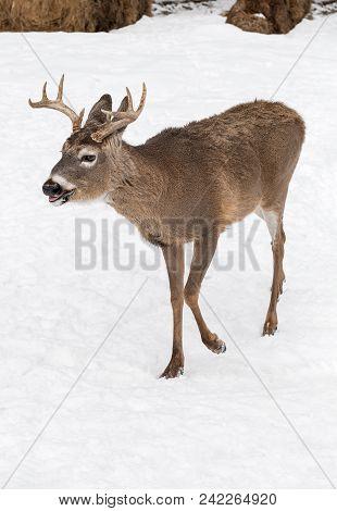 White-tailed Deer (odocoileus Virginianus) Walks Left - Captive Animal