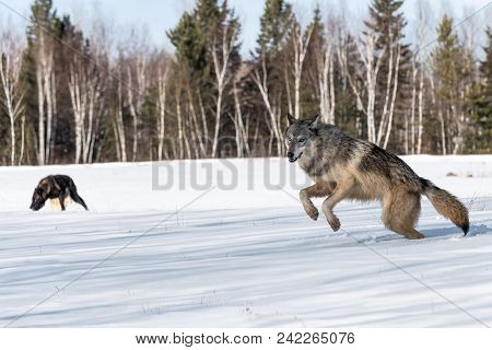 Grey Wolf (canis Lupus) Leaps Left Other Wolves In Background - Captive Animals