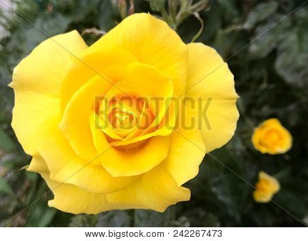 Close-up Of Yellow Rose Blooming Outdoors Color Image Stock Photos