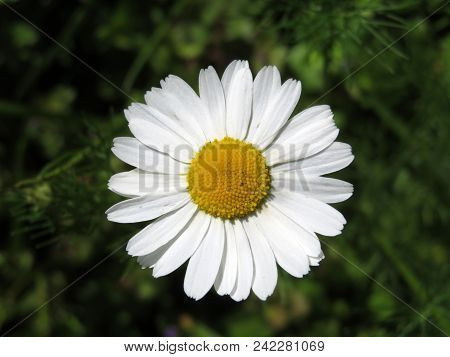 Beautiful chamomile flower close-up. Symbol of purity, love and tenderness poster