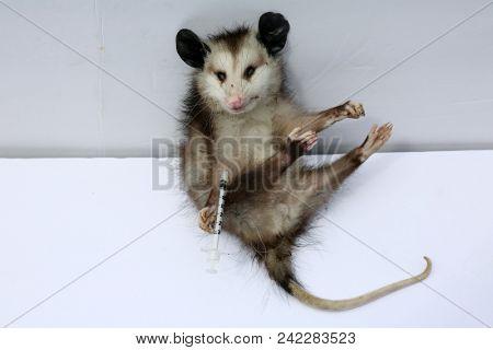 Dead Opossum with Heroin Needle in his arm.  Animal Drug Abuse. Marsupials Against Drugs. Dark Humor Series.