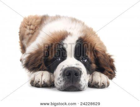 Adorable Saint Bernard Purebred Puppy