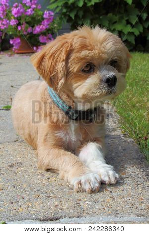 Lhasa Apso Dog Lying Down In A Garden