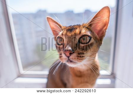 Closeup View Of Abyssinian Cat Or Kitten Sitting On The Window.