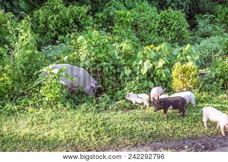 Mother Sow Pig With Piglets On Side Of Road On Upolu Island, Western Samoa, South Pacific
