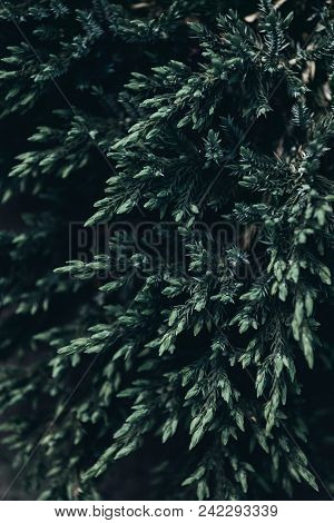 Close Up Shot Of Conifer Tree Branches In Spring