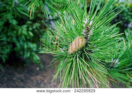 A Pine Cone And Needles In An Austrian Pine Tree, Also Called The Black Pine, In Joliet, Illinois, D