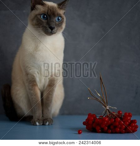 Thai Cat On A Gray Background And Red Berries Close Up