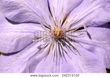 Close-up Of Of Lilac Clematis Flower Climbing Plant In The Spring Garden. Macro Photography Of Natur