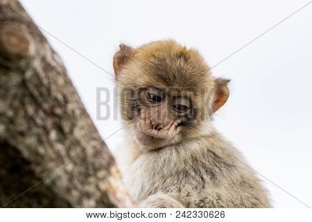 Young Berber Monkey In A Tree Isolated On White