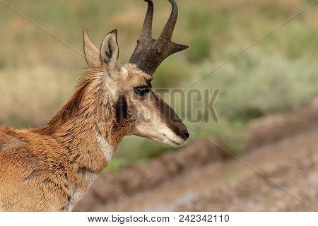 A Nice Pronghorn Antelope Buck On The Utah Prairie