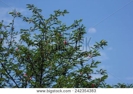 Green Leaf Of Pink Flower Powder Puff