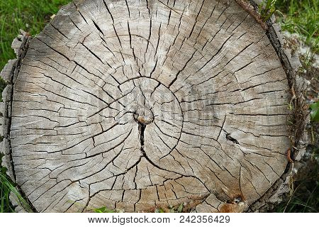 Willow Tree Stump, Wooden Stump Isolated.wooden Stump Isolated.a Willow Trunk Cut With A Motor Saw,