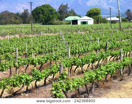 Grape Vine From The Fore Ground Right Up To The House And Trees In The Back Ground
