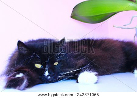 Black Cat Laying On Pink Tender Background. Domestic Pet Having A Rest. Domestic Animal. Lazy Cat