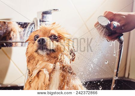Pomeranian Dog With Red Hair Like A Fox In The Bathroom In The Beauty Salon For Dogs. The Concept Of