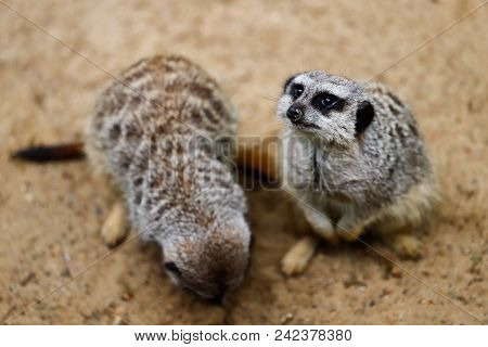 Portrait Of Wild African Meerkat (suricata Suricatta), Looking And Watching. Photography Of Nature A