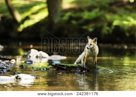 Young Vixen Of Red Fox Stay In River On Stone With Moss  - Vulpes Vulpes
