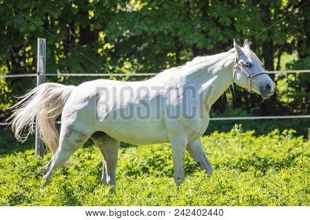 The Funny White Hanoverian Horse  In The Bridle Or Snaffle On The Pasture Or Grassland With The Gree